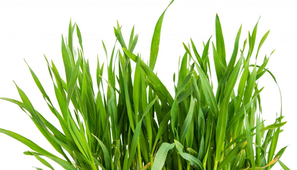 Common Ornamental Grasses What are the different types of xeriscape plants wheatgrass is a common ornamental xeriscape plant workwithnaturefo