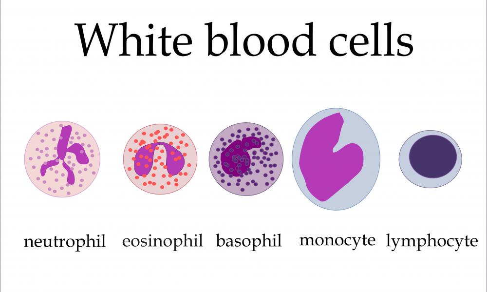 There are five types of white blood cells in the body: nuetrophils, eosinophil, basophil, lymphocytes, and monocytes.