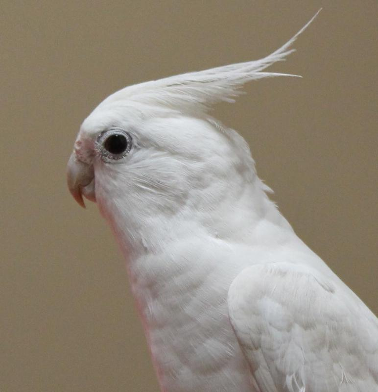 Cockatiels may be completely white.