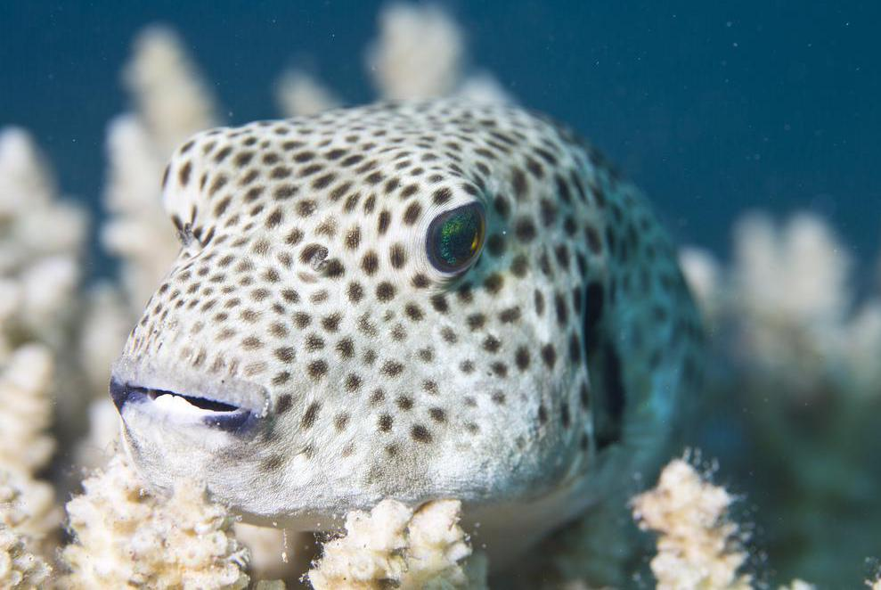 Pufferfish have bulging, forward-looking eyes.