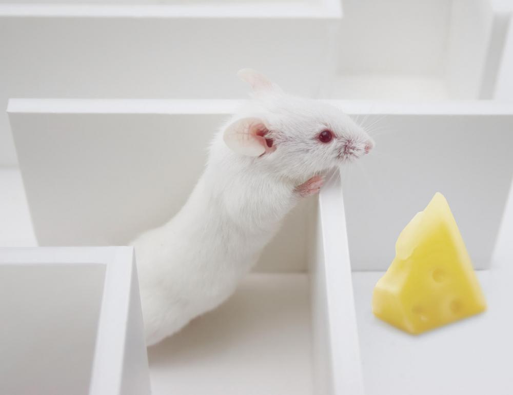 Hard cheese is one kind of recommended bait for rats.