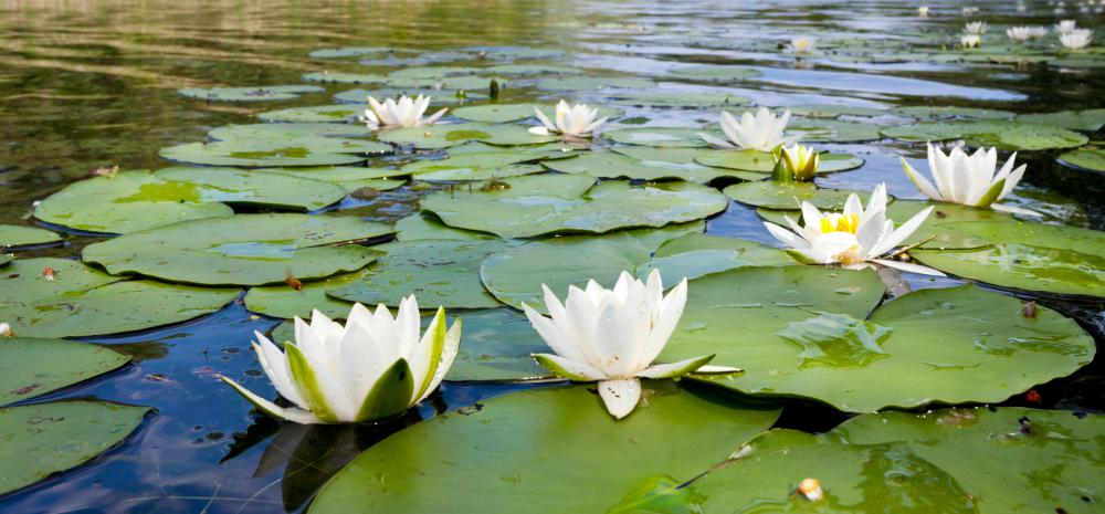 Cardiac glycosides can be developed from white water lilies.