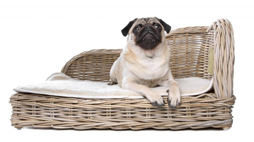 A pug on a wicker dog bed.
