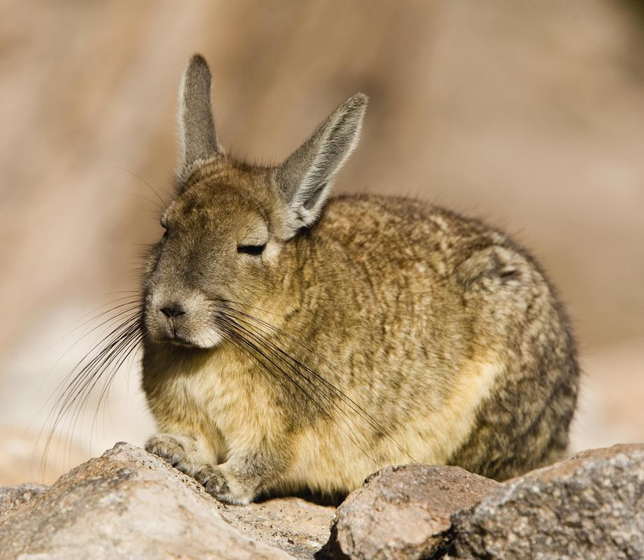The chinchilla is a South American alpine rodent.