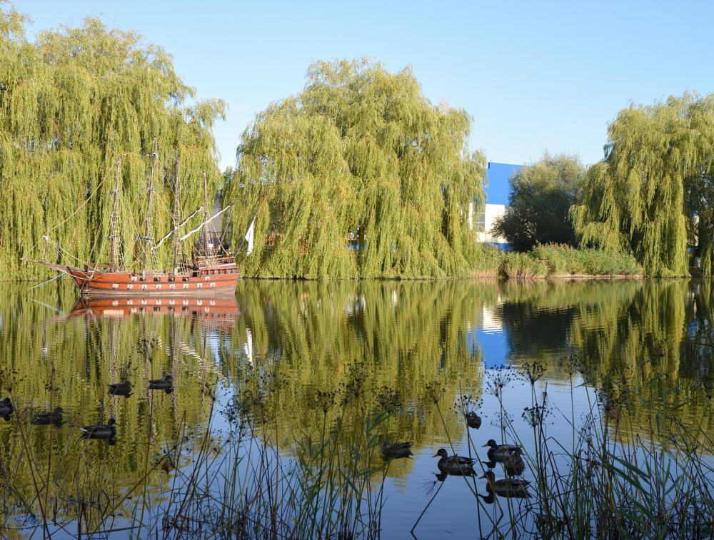 Willow trees are known for their long, trailing branches.