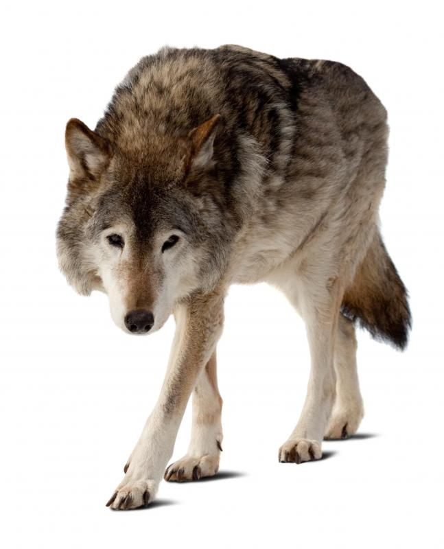 Wolves are a common forest species.