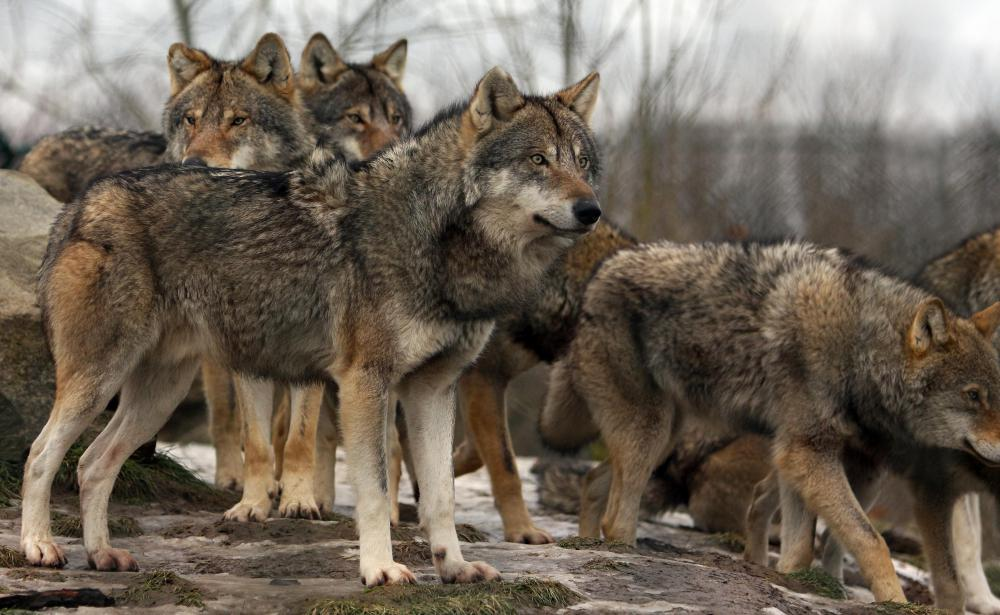 Population growth of a predator species, such the wolf, can pose a problem for farmers and ranchers.