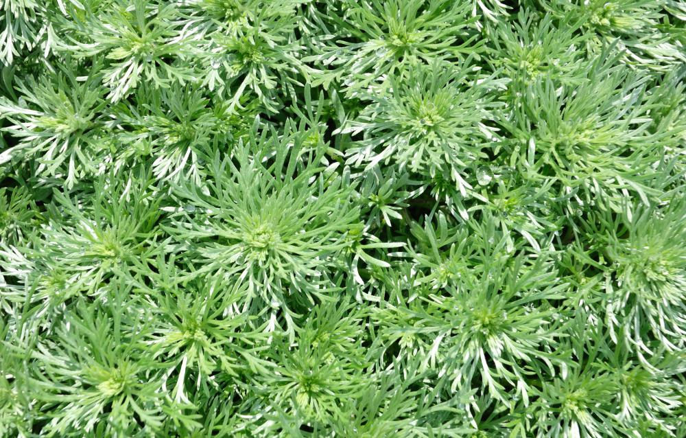 Wormwood is an herb used in aiding digestion.