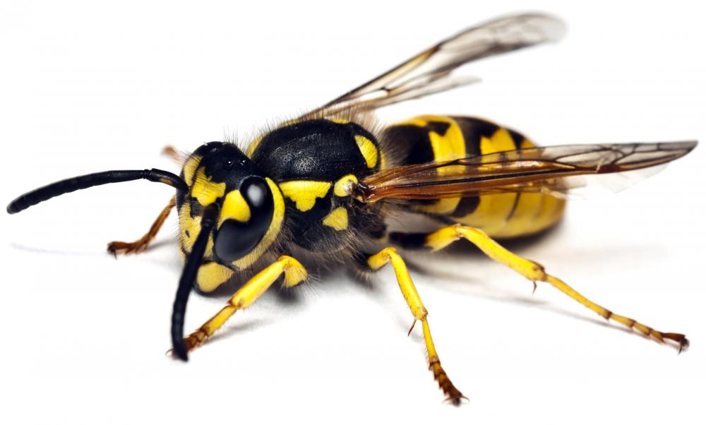 What Is The Difference Between A Yellow Jacket And A Wasp What is the Difference Between