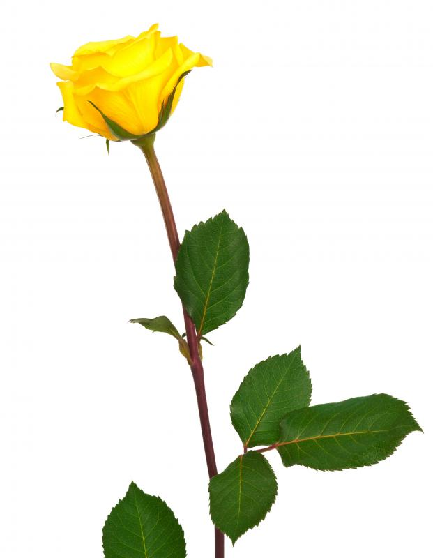 What do different colors of roses mean with pictures yellow roses signify friendship or sympathy mightylinksfo