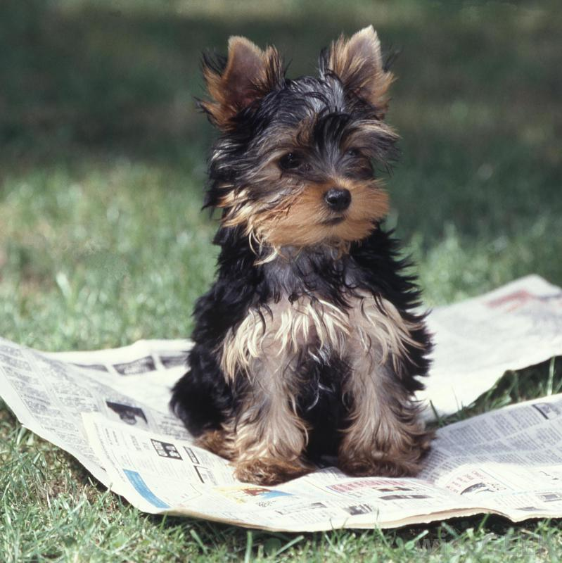 Some people prefer to train their dogs on a newspaper in an area they can easily clean.