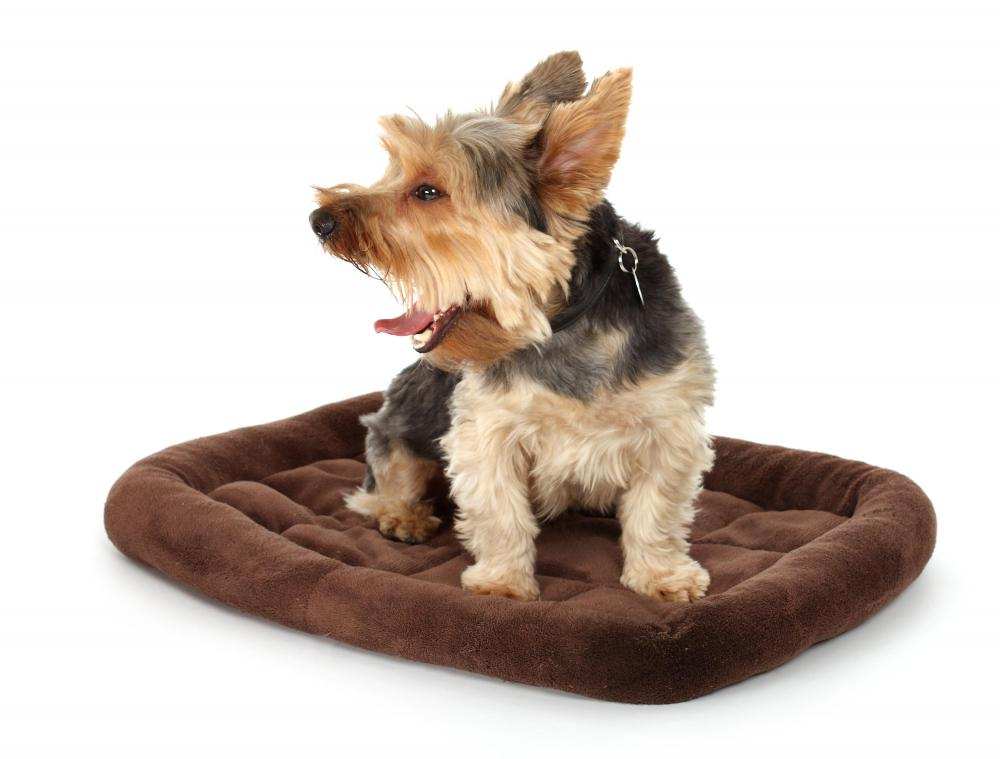 A Yorkshire terrier is half of the mating pair that produces a Yorkie-Poo.