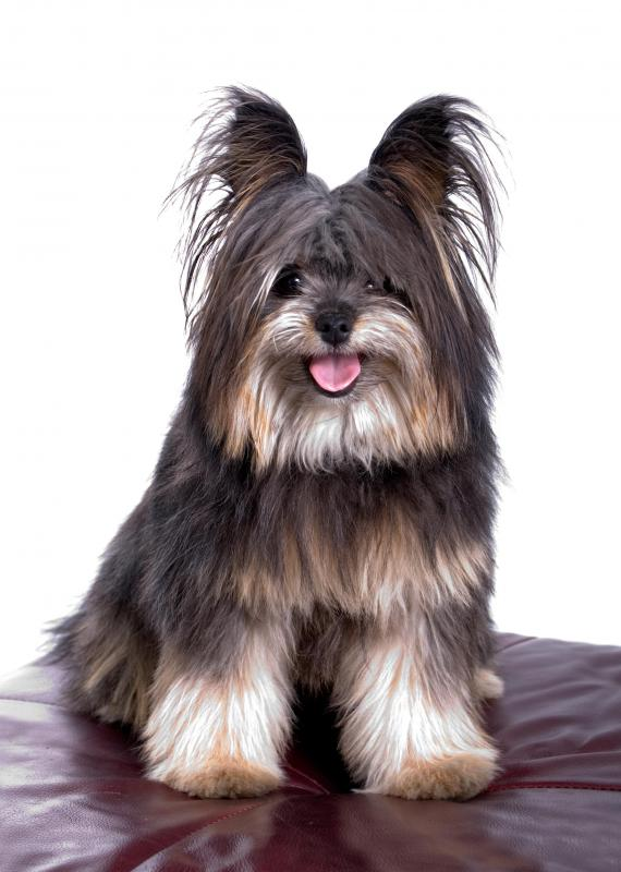 yorkshire terrier may be bred with a poodle to create a yorkie poo