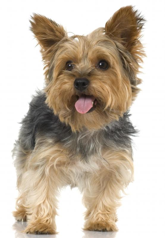Yorkshire Terriers are popular small dogs that are known as a toy breed.