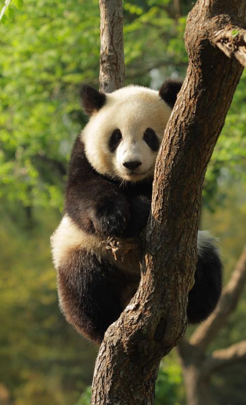 Giant pandas eat bamboo.