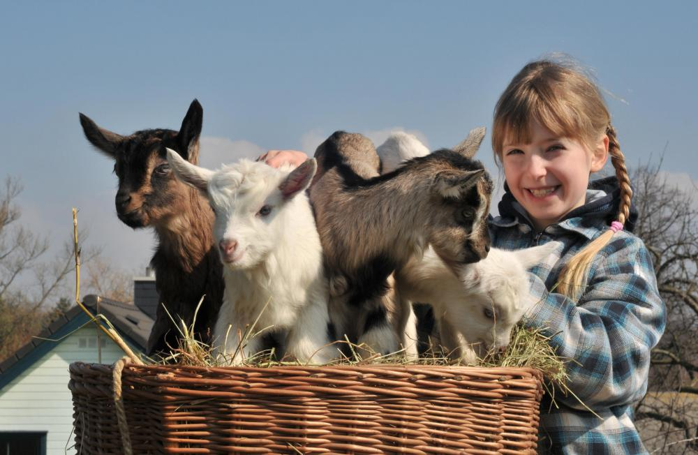 Young girl with baby goats.