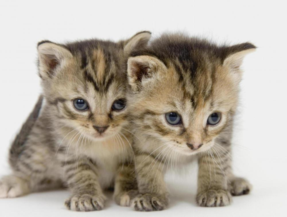 Young kittens with fleas.