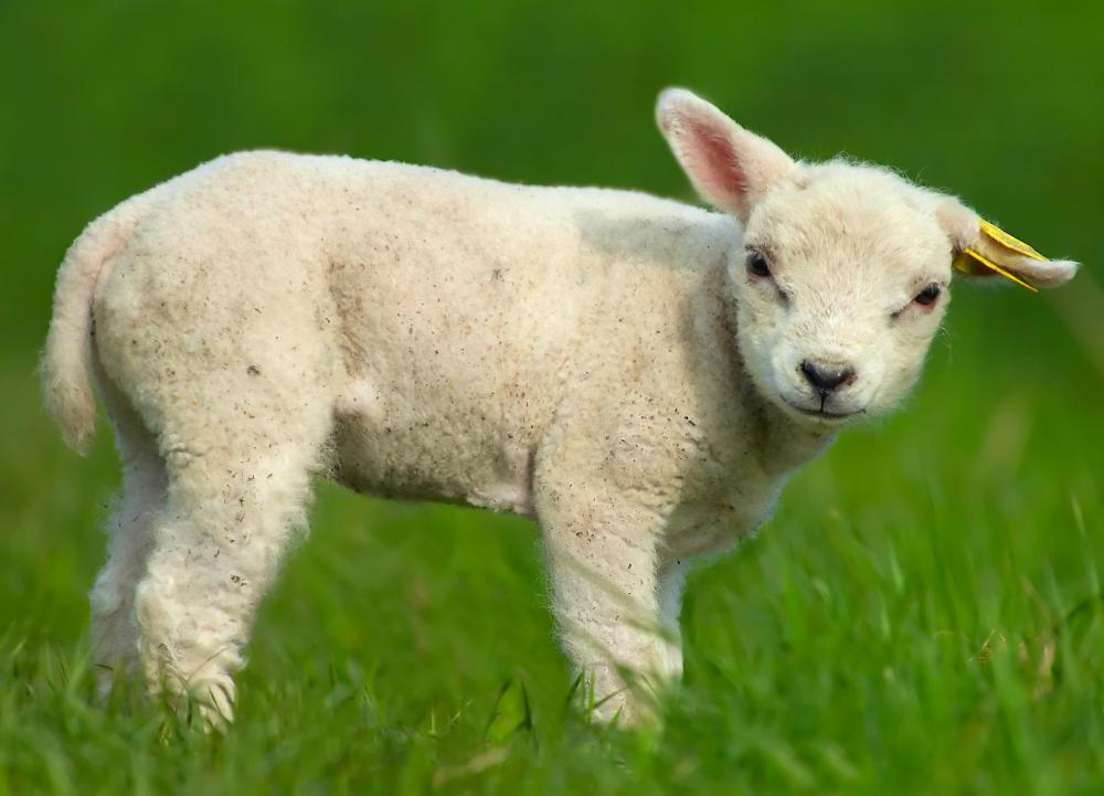 Even young lambs may be shown in competition.