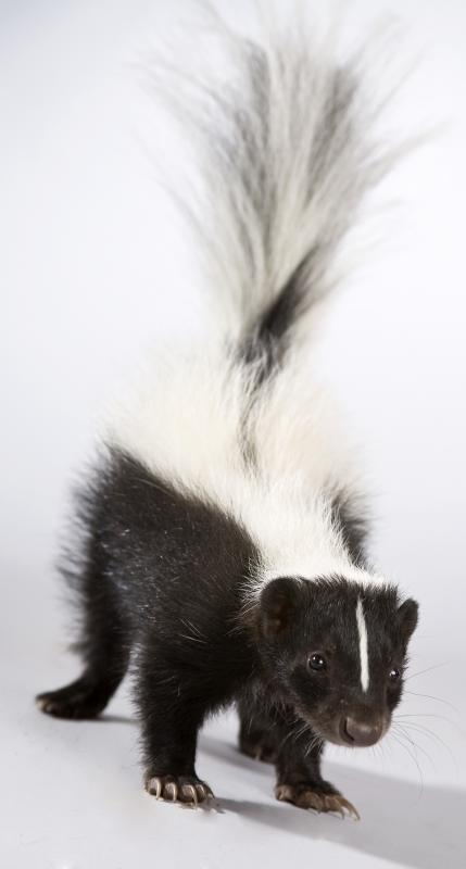 How can I Remove Skunk Odor from a Dog? (with pictures)
