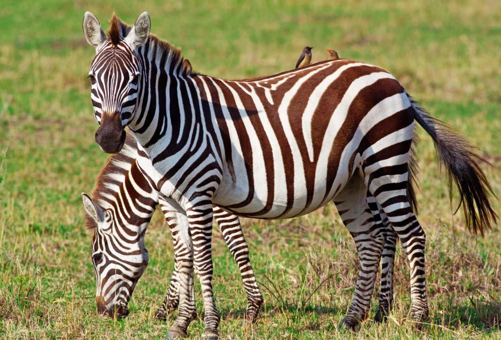 The Dikhololo Game Reserve has zebras.